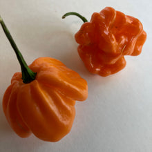 Scotch Bonnet Freeport Orange - Seeds - Bohica Pepper Hut
