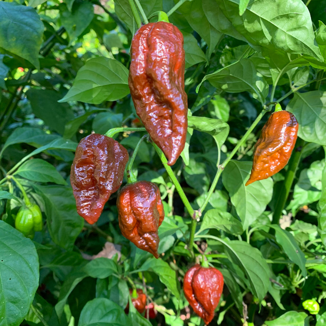 Brazilian Ghost Brown - Seeds - Bohica Pepper Hut