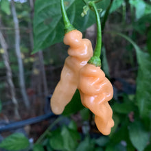 Lightning Habanero Peach - Seeds - Bohica Pepper Hut