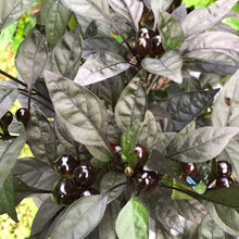 Black Pearl - Seeds - Bohica Pepper Hut