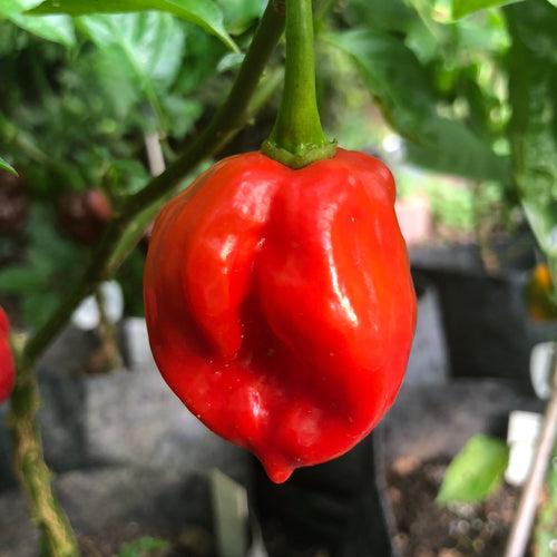 Habanero Caribbean Red - Seeds - Bohica Pepper Hut