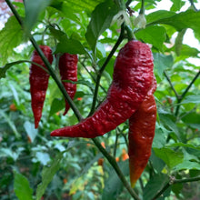 Levithan Gnarly Scorpion - Seeds - Bohica Pepper Hut