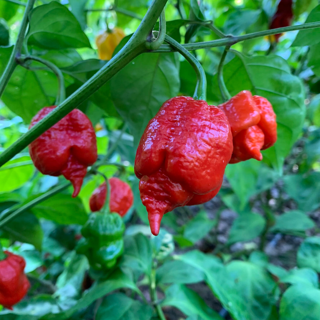 Big Red Mama - Seeds - Bohica Pepper Hut