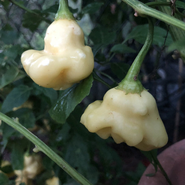 Aji White Fantasy - Seeds - Bohica Pepper Hut