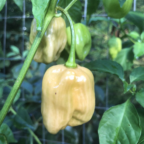 7 Pot Peach SG - Seeds - Bohica Pepper Hut