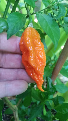 Bhut Jolokia Ghost - Seeds - Bohica Pepper Hut