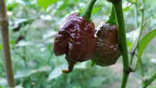 Fresh Chocolate Reaper Peppers - Bohica Pepper Hut