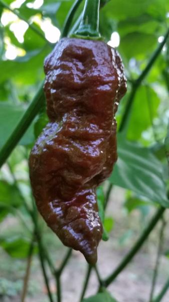 Bhut Jolokia Chocolate Ghost - Seeds - Bohica Pepper Hut
