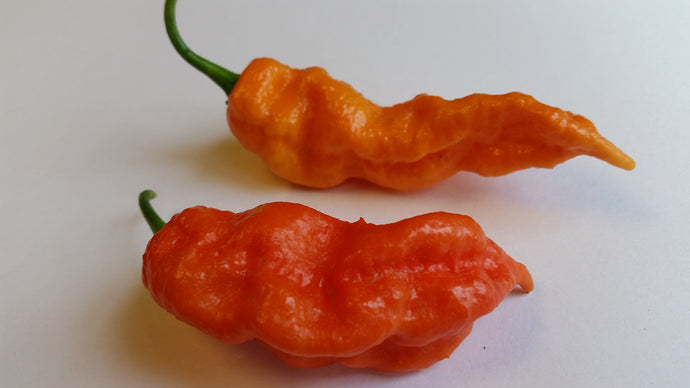 Jay's Red Ghost Scorpion - Seeds - Bohica Pepper Hut
