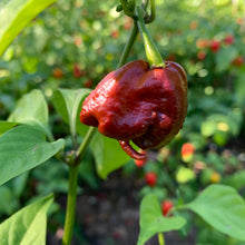 7 Pot Primo Chocolate - Seeds - Bohica Pepper Hut
