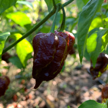 7 Pot Brown Douglah x Reaper - Seeds - Bohica Pepper Hut