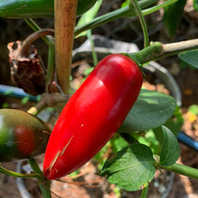 Monster Jalapeno - Seeds - Bohica Pepper Hut