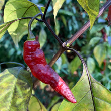 Piment Leopard - Seeds - Bohica Pepper Hut