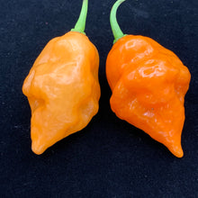 Habanada - Seeds - Bohica Pepper Hut