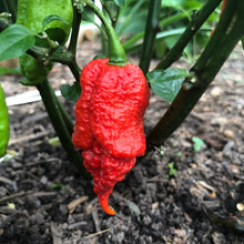 Lava Scorpion - Seeds - Bohica Pepper Hut