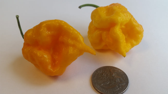 7 Pot Primo Yellow - Seeds - Bohica Pepper Hut