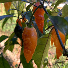 Black Panther Orange - Seeds - Bohica Pepper Hut