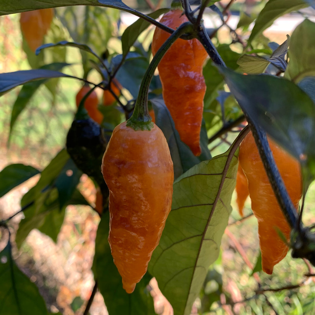 Black Panther Orange - Seeds