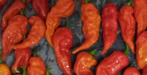 Fresh Bhut Jolokia Ghost Peppers - Subscription Box (Pre-Order) - Bohica Pepper Hut