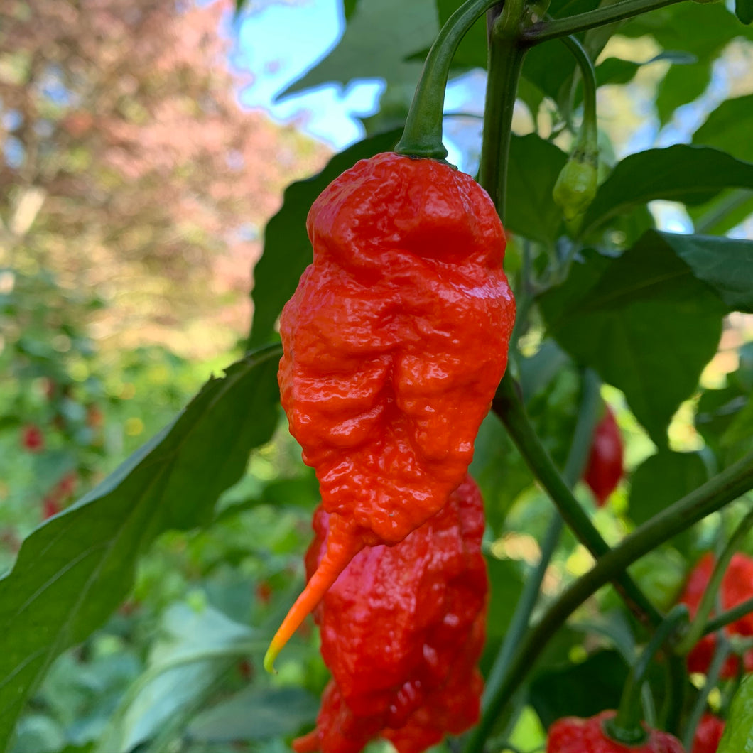 Skunk Red - Seeds - Bohica Pepper Hut