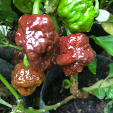 Fresh Super Hot Peppers - Mixed Brown/Chocolate Box: All Brown/Chocolate colored peppers - Bohica Pepper Hut