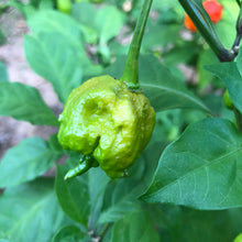Fresh Carolina Reaper Peppers (Green/Unripe) - Bohica Pepper Hut