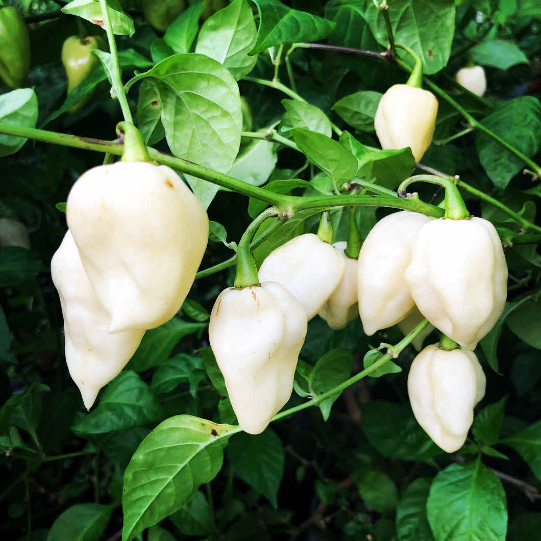 Fresh White Bhut Ghost Peppers - Bohica Pepper Hut