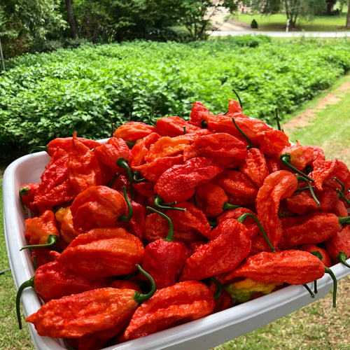 Fresh Bhut Jolokia Ghost Peppers - Bohica Pepper Hut