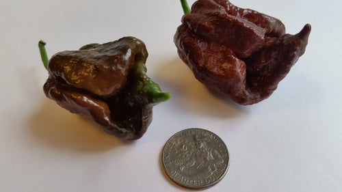 Trinidad Chocolate Scorpion - Seeds - Bohica Pepper Hut