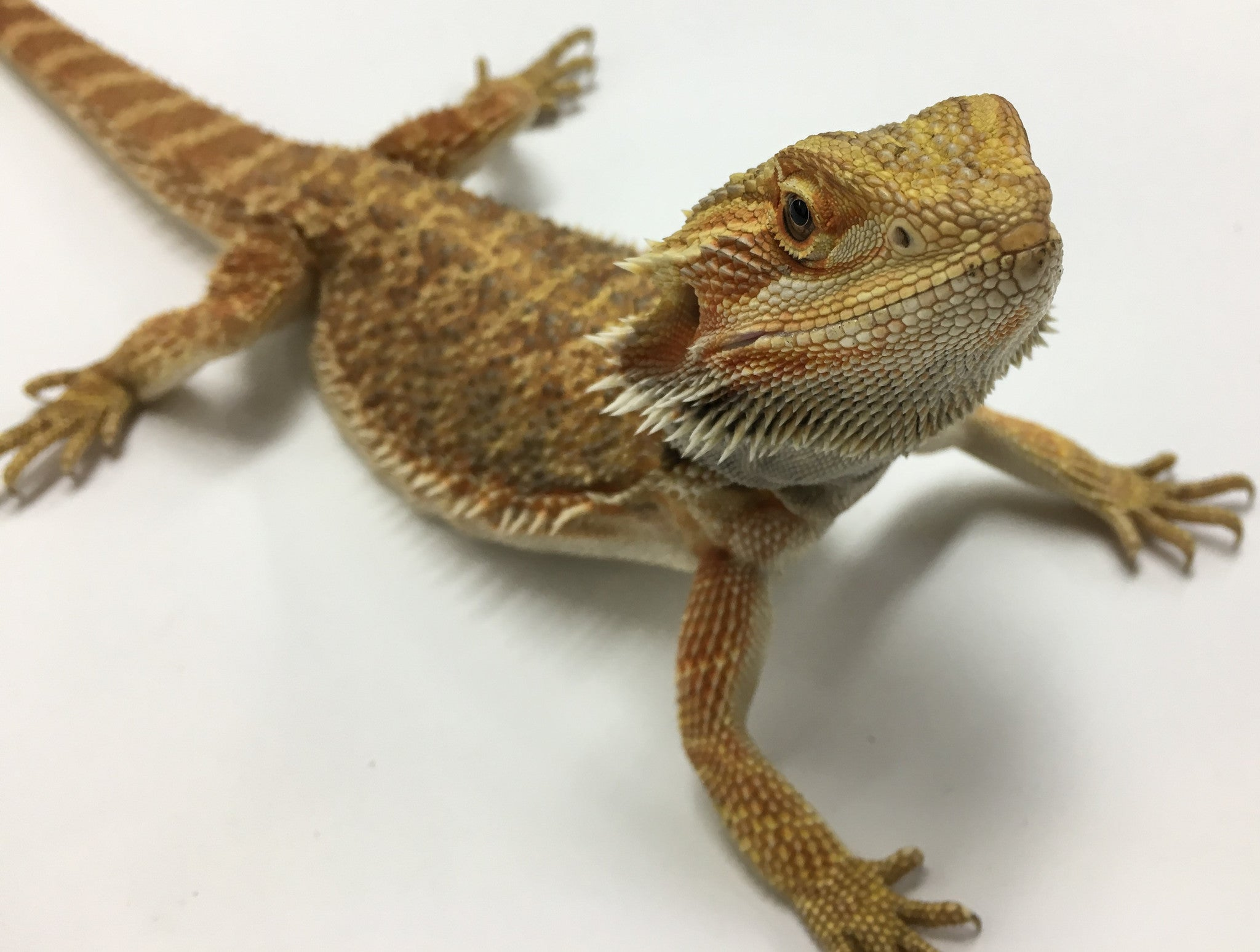 Bioactivity And Bearded Dragons By Josh Halter