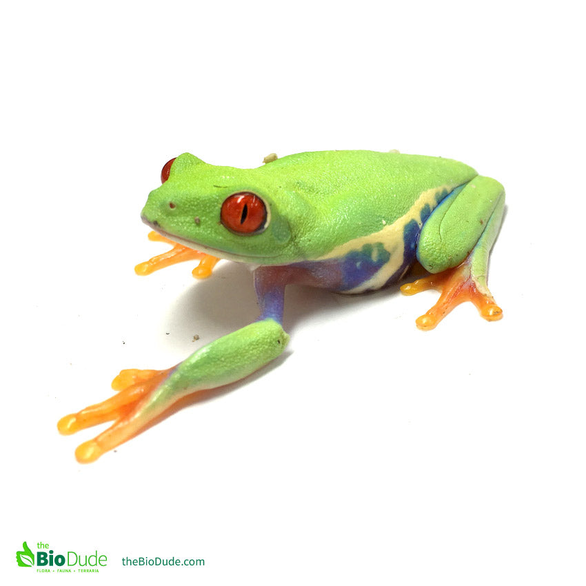 The care and maintenance of the Red Eye Tree Frog