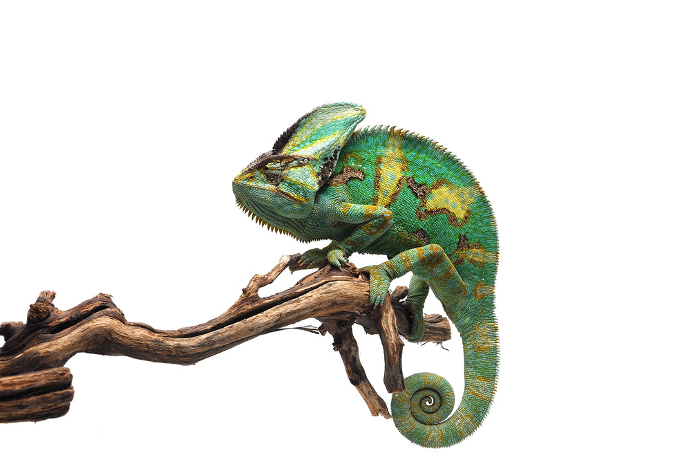 Veiled Chameleon Caresheet