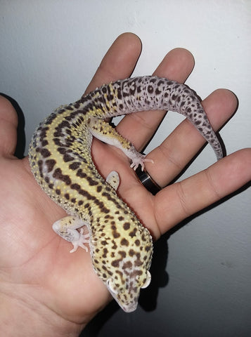 The care and maintenance of the Leopard Gecko by Josh Halter