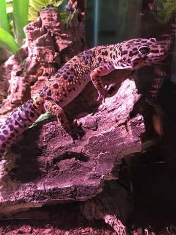 Reptile and Amphibian Caresheets with cited veterinary and