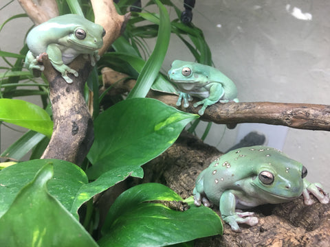 Bioactivity And White S Tree Frogs By Josh Halter