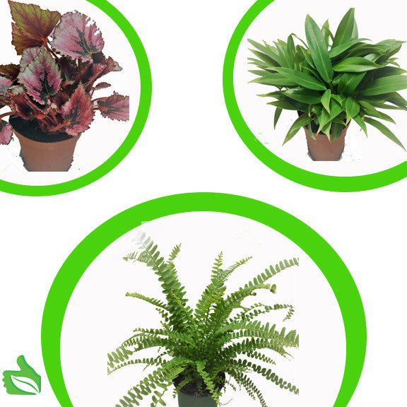 "4"" Pot Large Tropicals 3-Pack"