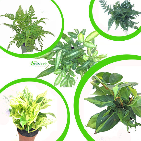 "4"" Pot Large Tropicals 5-Pack"