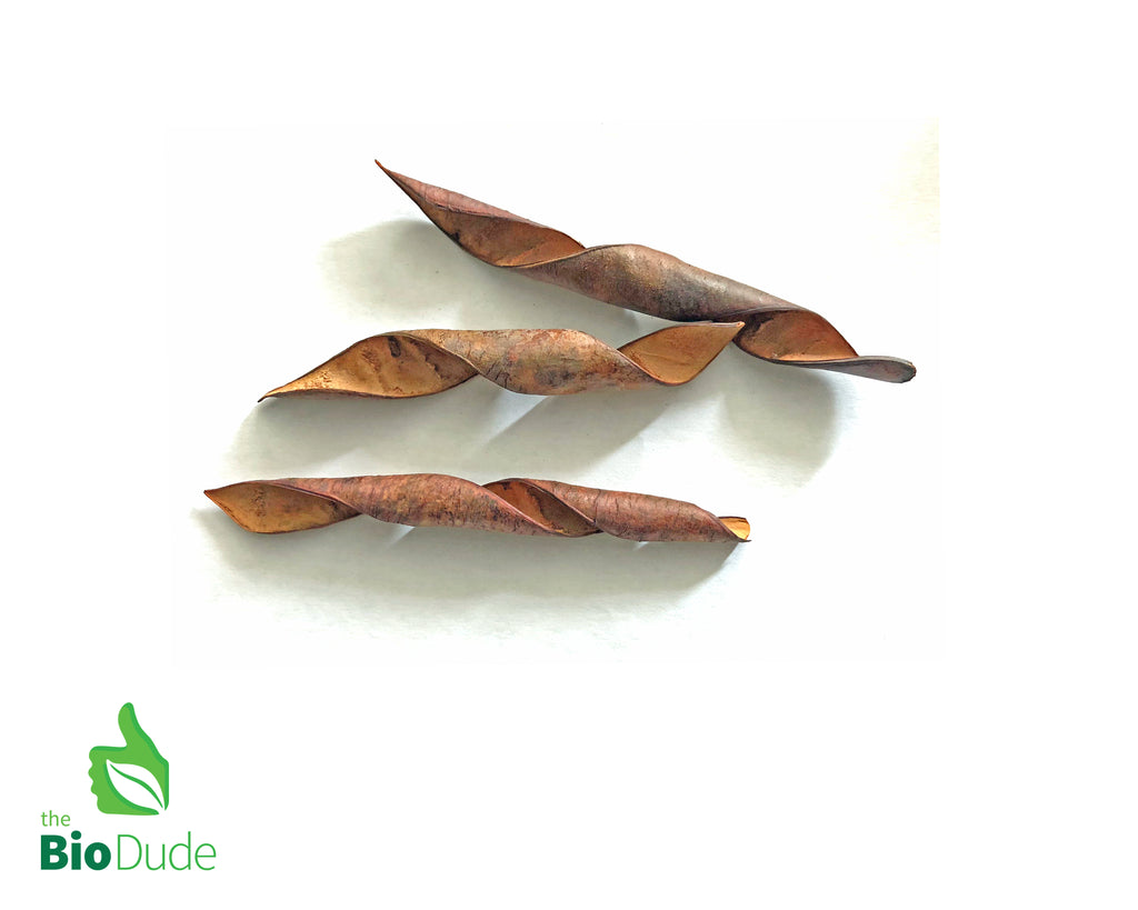 Bride of Barbados Seed Pod 3 pack