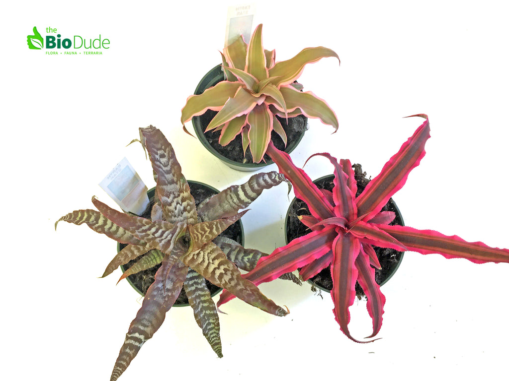 "3"" Pot Cryptanthus Earth Star 3 pack"