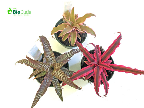 "3"" Pot Cryptanthus Earth Star 3-Pack"