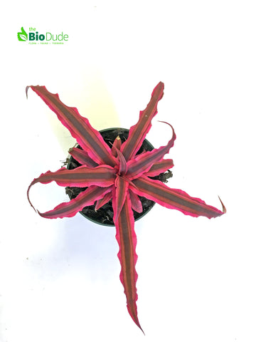 "4"" Pot 'Pink' Cryptanthus Earth Star"