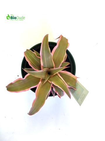 "4"" Pot 'striped' Cryptanthus Earth Star"