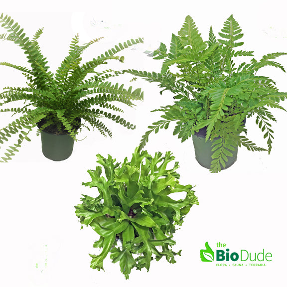 "4"" pot Fern 3 pack"
