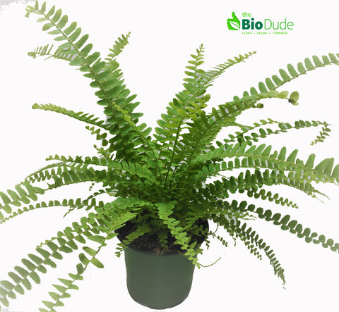 "4"" Pot Lemon Button Fern"