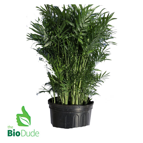 "8"" pot small Neanthe Bella Palm 24"" - 32"" tall"