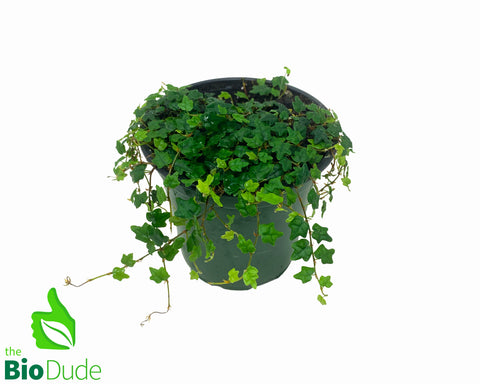 "4"" Pot Oak Leaf Creeping Fig - Ficus Pumilia"