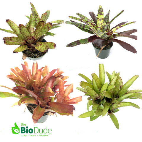 Bromeliad Sampler Pack -  5 count FREE SHIPPING