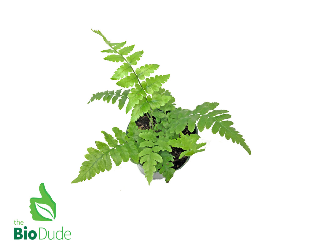 "4"" Pot Southern Shield Fern"