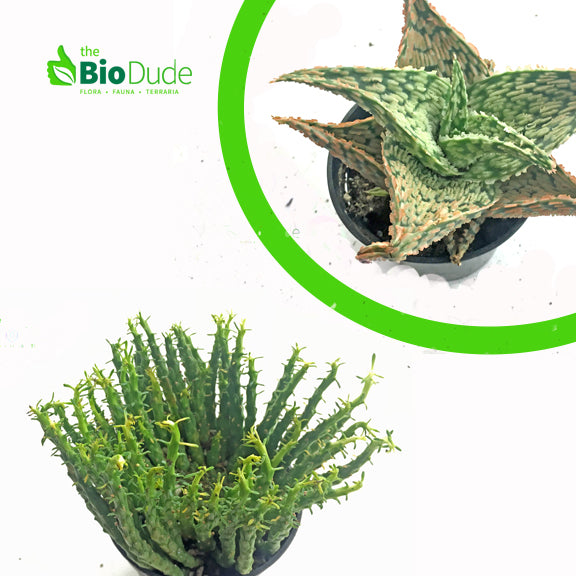 Tropical Plants For Sale For Bioactive Terrariums Vivariums