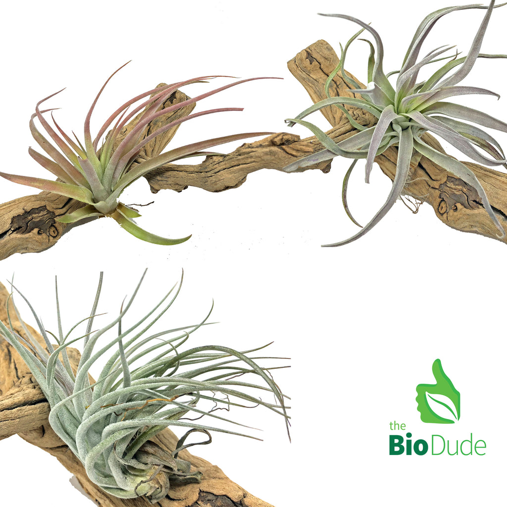 Bromeliad Tillandsia 3-Pack *The Dude's Choice*